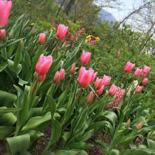 ガーデンのチューリップ!綺麗でした。