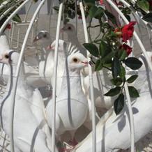 ピジョンセレモニーの白鳩
