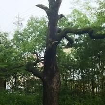 古くからある木だそうで