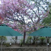 日中の中庭。5月半ばで八重桜が満開でした