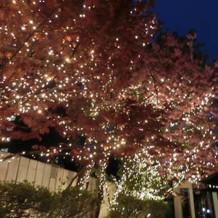 夜の中庭の桜