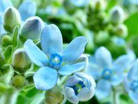 \サムシングブルー/幸せの青い花「ブルースター」で結婚式を彩ろう♪
