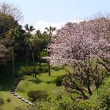 重富荘庭の今年の桜満開のショットです。
