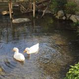 広い日本庭園にはアヒルさんもいます。