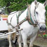 白馬に乗って散歩しました。