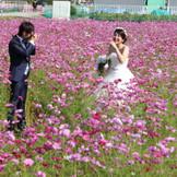 コスモス畑でも前撮り 白とピンクのコントラストが綺麗☆
