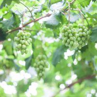 新緑の季節に豊かな実りをつけるぶどう