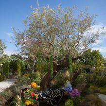 大きなオリーブの樹をフォトスポットに