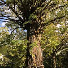 御神木の大銀杏。
