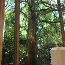 チャペル前方の大木