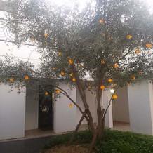 オリーブの木。かわいかった!