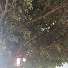 モンスーンヴィラのシンボルツリー。
