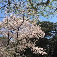 園に入る前の桜