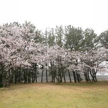 チャペルのすぐ裏にも桜が咲き誇ります