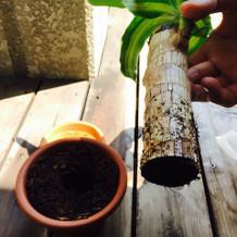 植樹の儀に使ったドラセナの根