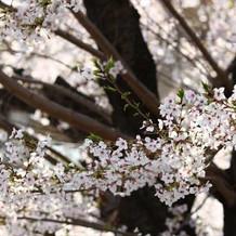 会場周辺に咲き誇る桜並木