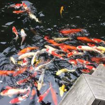 鯉がたくさんいて和の雰囲気