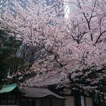 大きな桜の木があり、見事