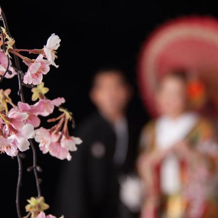 桜 スタジオ 和装 色打掛 黒引き振袖 フォトウェディング